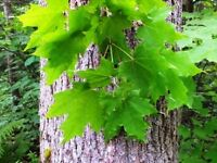 Maple & Alder Tree Logs Wanted