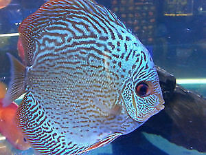 Discus Fish Salt Water Fish Cichlids Flowerhorn Arowana Angel