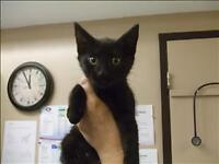 """Baby Male Cat - Domestic Short Hair: """"Sprout"""""""