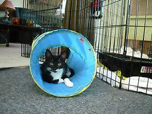 "Baby Male Cat - Domestic Short Hair-black and white: ""Ash"""