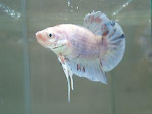 Betta fish aquariums ebay for Ebay betta fish