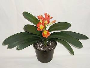 Clivia plant in a pot. Blakeview Playford Area Preview