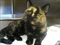 "Adult Female Cat - Domestic Short Hair: ""Chatty Cat"""