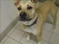 """Adult Female Dog - American Staffordshire Terrier: """"Baby"""""""
