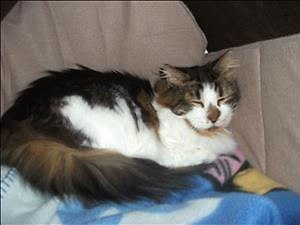"""Adult Male Cat - Maine Coon: """"Mickey"""""""