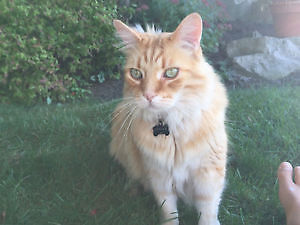 LOST ORANGE MALE TABBY, LONG HAIR
