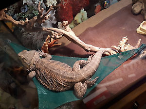 Young Healthy Bearded Dragon Needing Home