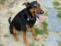 """Adult Female Dog - Doberman Pinscher-Shepherd: """"Scout"""""""