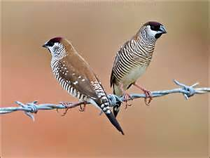 Finches for Sale Gorokan Wyong Area Preview