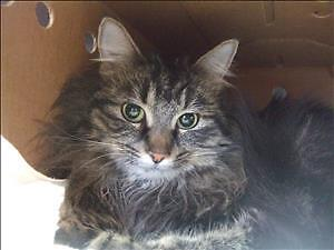 """Young Female Cat - Domestic Long Hair: """"Diana"""""""