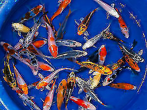 "Aquagiant new fish arrived July 13. 5""grade A koi 3 for $ 45."