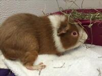 """Adult Male Small & Furry - Guinea Pig: """"Parker"""""""