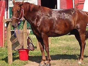 Two Tennessee Walker Geldings