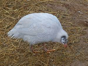 Looking for Breeding Pair lavender guinea fowl