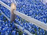 Blue Bonnets Best