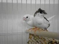 4 Bangalese finch for sale