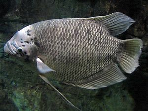 Large freshwater fish for sale