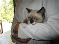 "Baby Female Cat - Siamese: ""Scary Spice"""