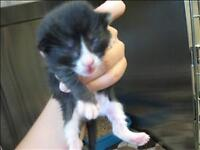 """Baby Male Cat - Domestic Short Hair: """"Zoom"""""""