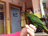 Different conure babies with Cage and food.