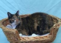 "Adult Female Cat - Calico: ""Lily"" Ottawa Ottawa / Gatineau Area Preview"