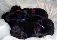 RARE BLACK RUSSIAN TERRIER PUPS FROM CHAMPION PARENTS