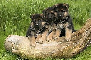 GERMAN SHEPHERD PUPS