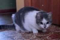 "Adult Female Cat - Domestic Short Hair: ""Emm"""