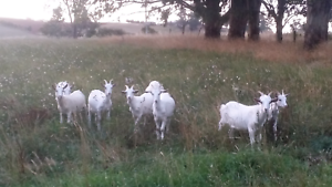8 wether goats for sale Cuprona Central Coast Preview