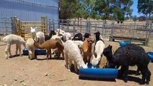 Male Alpaca Pets for Sale Bullsbrook Swan Area Preview