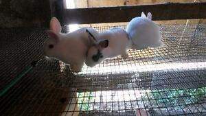 3  Netherlands  Dwarf Rabbits for sale