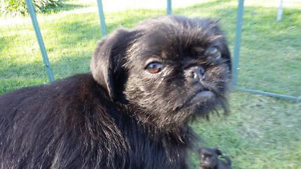 Griffon bruxellois x Black Pug