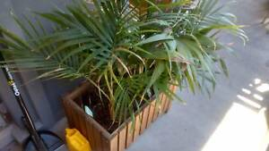 Askholmen plantar box with five small palms Randwick Eastern Suburbs Preview