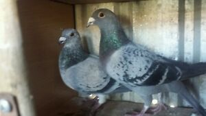 PIGEONS FOR SALE Cowandilla West Torrens Area Preview