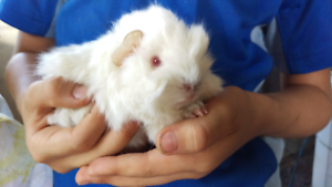 ❤QUALITY CARE SPECIALIZE IN BABY GUINEA PIGS HUTCH PACKAGE DEALS Londonderry Penrith Area Preview