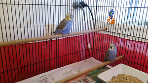 2 budgies $30 Newcastle Newcastle Area Preview