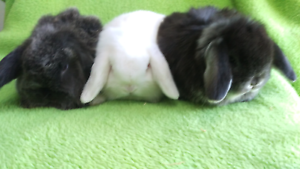 ❤QUALITY CARE PUREBRED  MINI LOPS VACCINATED HUTCH PACKAGE DEALS Londonderry Penrith Area Preview