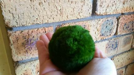 All Sizes..Real Marimo Moss Balls small approx 4cm