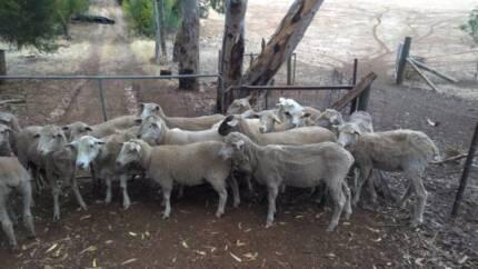 sheep, lambs, rams buying and selling