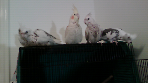 Very hand tame cockatiels Beachmere Caboolture Area Preview