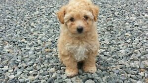 Stunning Toy Parti Poodle Male