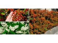 Pyracantha Orange Glow Hedging Plants