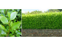 Griselinia Hedging Plants