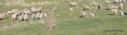 LAMBS SHEEP ALL SIZE ALL BOYS AND ROOSTERS  Mount Vernon Penrith Area Preview