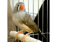 Finches for sale and 2 cages