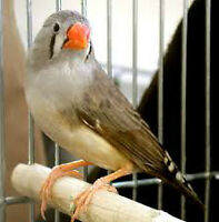 Zebra birds for sale