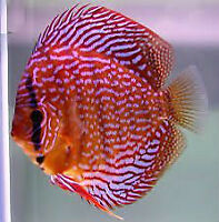 Stendker Discus Available !