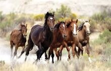 Adgistment for Horses Badgerys Creek Liverpool Area Preview