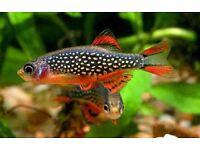 Rasbora Galaxy fish