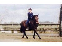 15.2 8 year old Thoroughbred mare